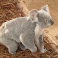 koala001