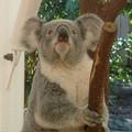 koala006