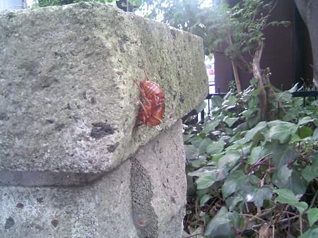 セミの抜け殻(2)