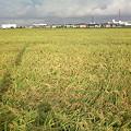 写真: もうすぐ収穫!
