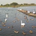 写真: 白鳥たちは羽休め中