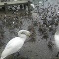 写真: えさを奪い合う白鳥と鴨たち