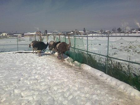 雪の中のダチョウたち