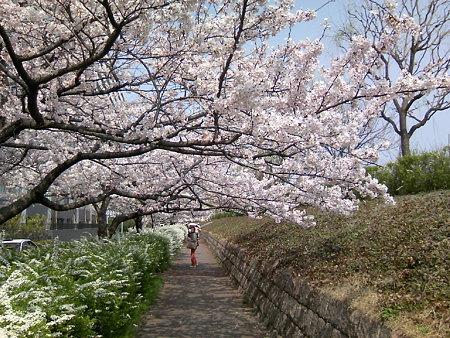 桜のトンネルin新潟やすらぎ堤