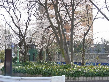 新潟市弁天公園の桜