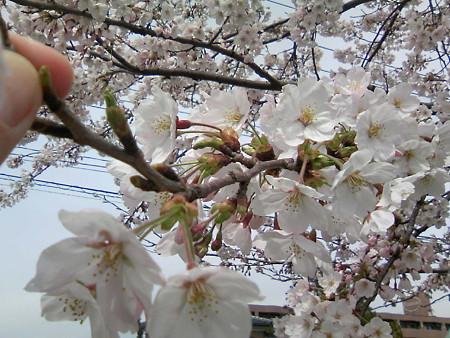 2008鳥屋野潟の桜1