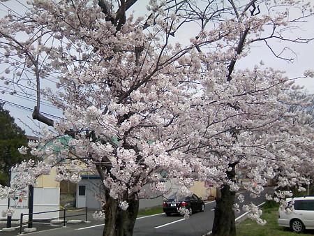 2008鳥屋野潟の桜2