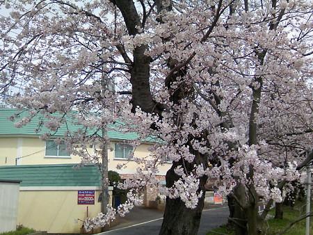 2008鳥屋野潟の桜3