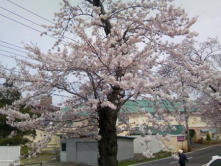 2008鳥屋野潟の桜4