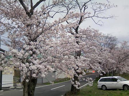 2008鳥屋野潟の桜5