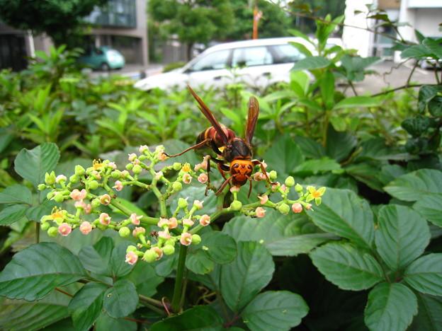藪枯らしとスズメバチ