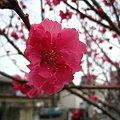 写真: 花桃(バラ科)