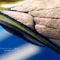 Photos: 鱗粉。(オオスカシバ飼育。羽化)