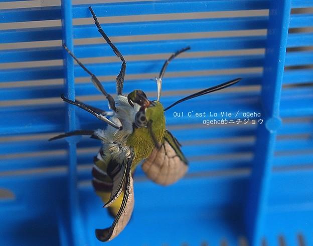 翅を伸ばすと同時に口吻も伸ばし二本を一本につなげる。(オオスカシバ飼育 羽化)