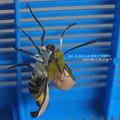 Photos: 翅を伸ばすと同時に口吻も伸ばし二本を一本につなげる。(オオスカシバ飼育 羽化)