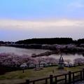 Photos: 夜桜へ