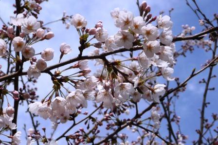 P1110728桜c?