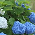Photos: 紫陽花・・白と青が同じところから