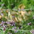 Photos: 蜜を吸う白い蝶