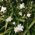 Photos: シャガの花