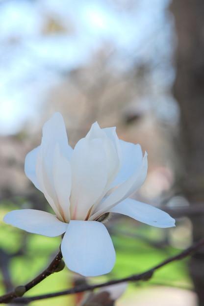 Merril Magnolia 5-8-14