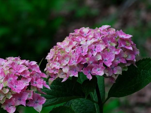 濡れる紫陽花