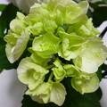 Photos: ゼブラ今から開花