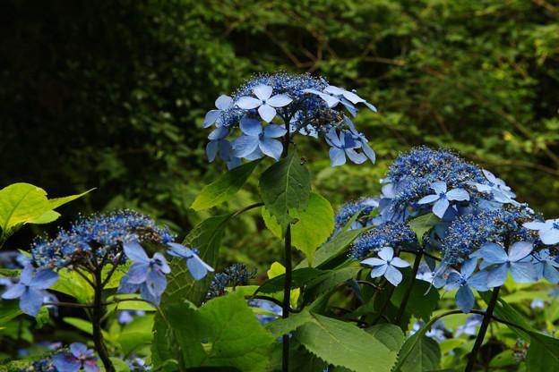 Photos: 森の中のクロヒメアジサイ_04