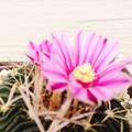 写真: 縮玉の花 (ほぼ満開)
