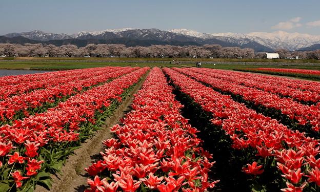 春(雪山・サクラ・チューリップ)IMG_7514