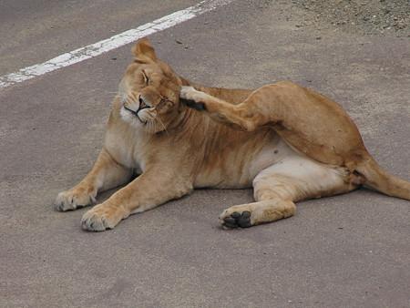 ライオン耳かゆうま