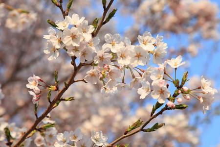 十二の桜エドヒガン種