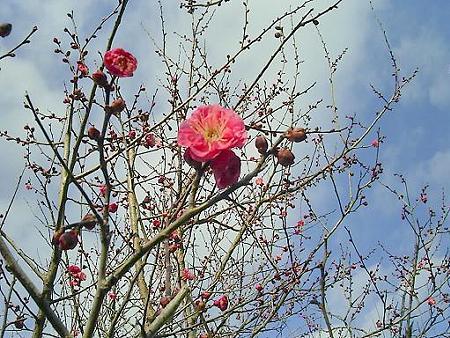 20090107-日本平梅林 (2)