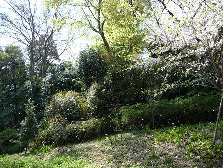 090409-野毛山動物園の桜 (9)
