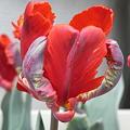 チューリップ狂時代の花