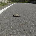 写真: 亀さん轢かれてる