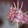 写真: 白樺キリンの花