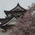 Photos: 彦根城桜