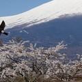 Photos: イワツバメ