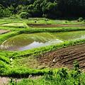 写真: スプーン・カーブの田んぼ^^