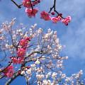 写真: 梅と空03