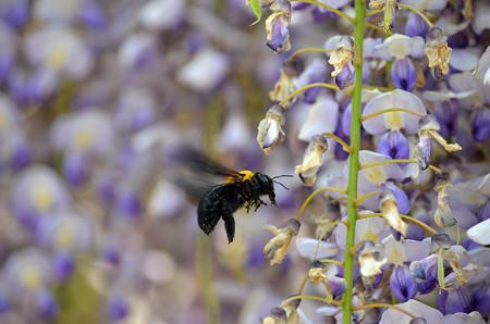 1405クマバチの蜜集め01