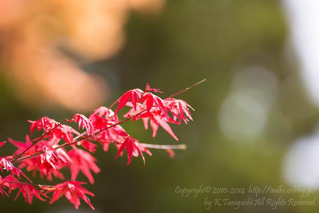 Photos: 春紅葉