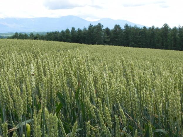 就実の丘 麦畑