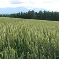 写真: 就実の丘 麦畑