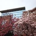 7いろいろな桜と