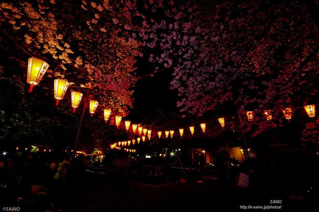 夜桜(アンダーに)