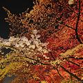 Photos: 夜の桜