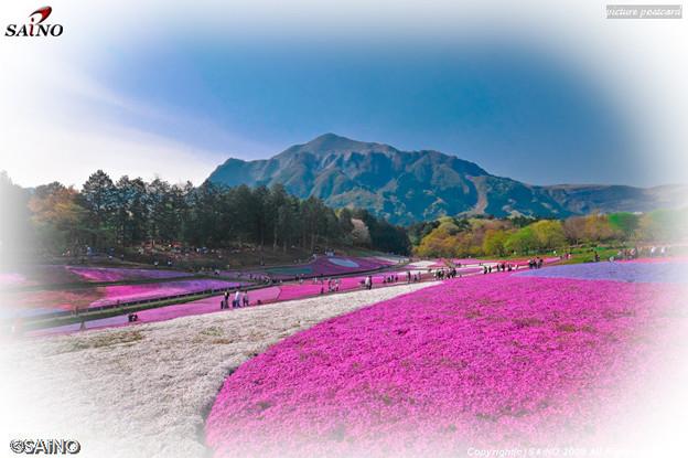 秩父羊山公園 芝桜の丘