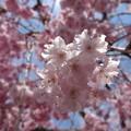 枝垂れ桜?